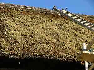 Moss on the thatch